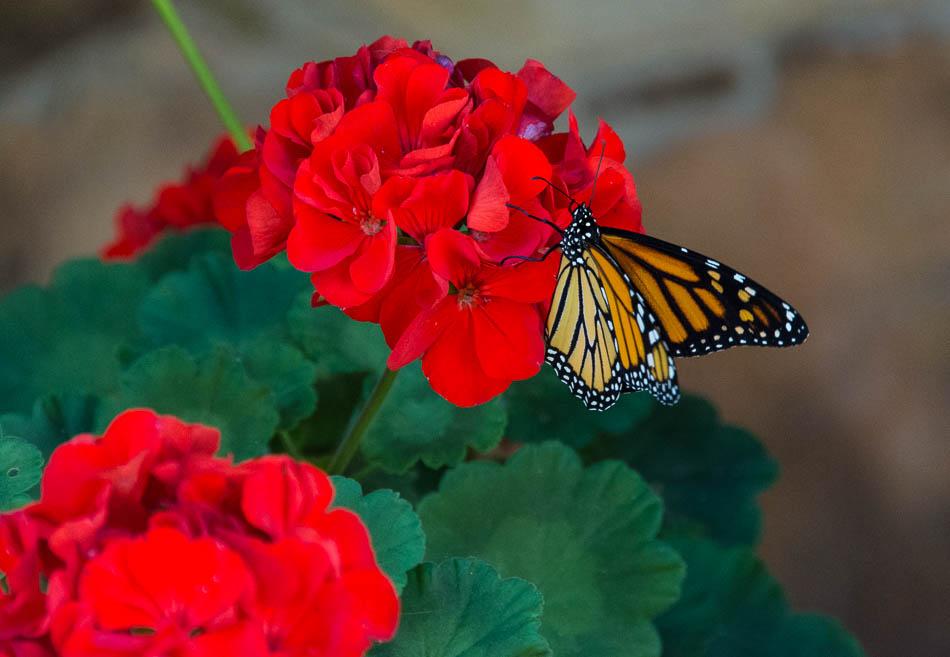 monarch_butterfly-3